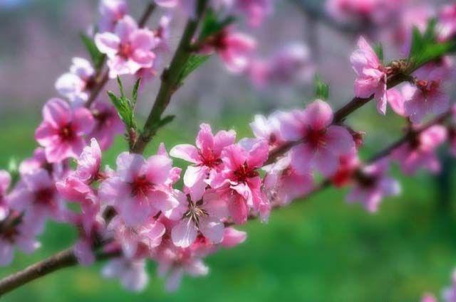 春天小燕子柳树桃花