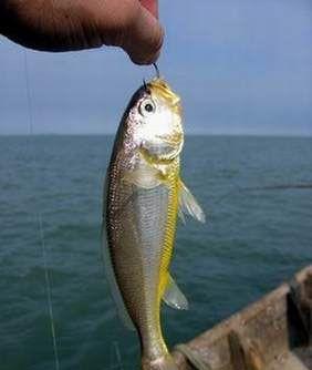 不管使用何种钓法,钓饵必须采用新鲜的海虫,矶蚕,沙蚕,鱼虾的身饵.