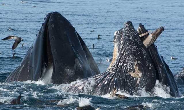 当遭到掠食性鱼类或海狮来自四面八方的攻击时,凤尾鱼聚集在一起的天