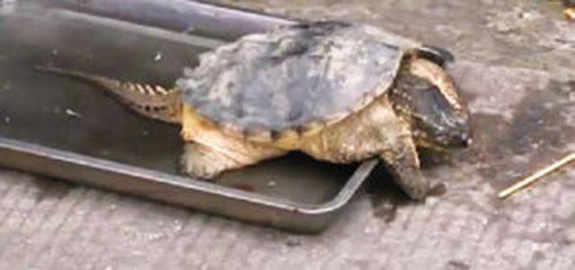 鳄龟是现存最古老的爬行动物