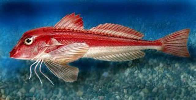 成鱼以底栖动物为食