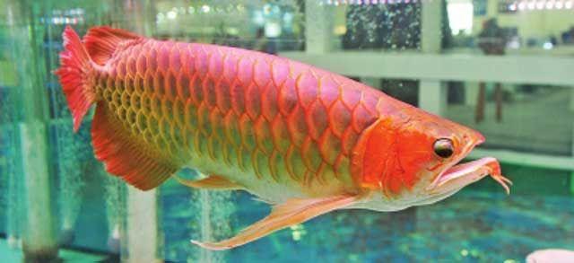 辣椒红龙鱼_鱼界新闻:身价百万元的辣椒红龙鱼现身引瞩目